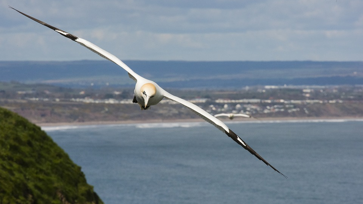 One of the largest North Atlantic seabirds, the gannet soars before spectacularly plunging in pursuit of fish.